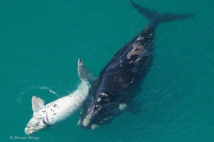 Whale-mother-calf-white